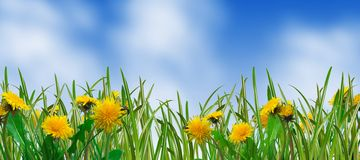 Dandelions and grass stock image