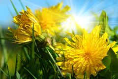 Dandelions in the grass Royalty Free Stock Photo