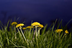 Dandelions in the grass on a background of lake. Bright dandelions in the grass on a background of lake Stock Image