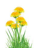 Dandelions In Grass Stock Image