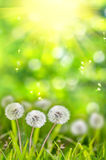Dandelions in the grass on a green background Royalty Free Stock Photos