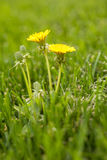 Dandelions In The Grass Stock Photography