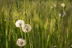 Dandelions in the grass!. Green grass and dandelions at sunset in the woods Stock Image