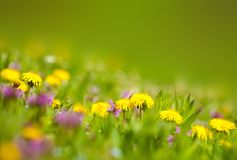 Dandelions in the grass Stock Images