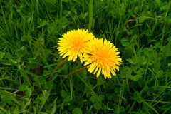 Dandelions in the grass. Spring dandelions in the grass royalty free stock images