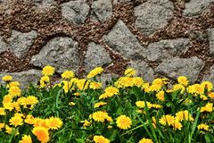 Dandelions and grass on a stone wall Royalty Free Stock Photo