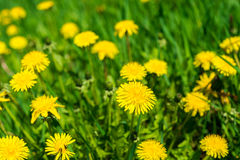 Dandelions in the grass in the sunlight Royalty Free Stock Photo