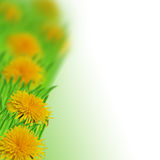 Dandelions in the grass Stock Photos