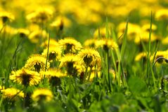 Dandelions in Grass meadow royalty free stock photo