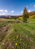 Dandelions on grassy slopes in springtime. Spruce forest at the foot of Borzhava mountain ridge with snowy tops in the distance under the blue sky with some Royalty Free Stock Images
