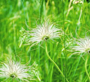 Dandelions in green background Stock Photography