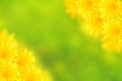 Dandelions. On a green background Royalty Free Stock Images