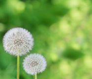 Dandelions on green  background Royalty Free Stock Photo