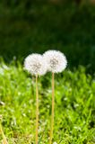 Dandelions on a green background in a kiss royalty free stock photos