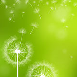 Dandelions on a green background Stock Images