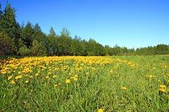 Dandelions on green field Royalty Free Stock Photo