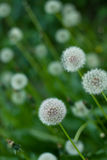 Dandelions on the green field. Close up Royalty Free Stock Photo