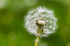 Dandelions on a green field. Royalty Free Stock Photos