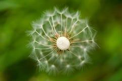 Dandelions on a green field. Stock Image