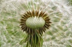Dandelions on a green field. Stock Photos