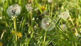 Dandelions among green grass