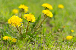 Dandelions among green grass Stock Photography