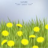 Dandelions and green grass. Spring card with dandelions and green grass Stock Image