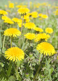 Dandelions on a  green meadow Royalty Free Stock Photos