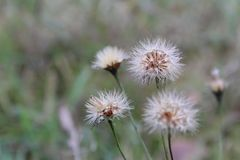 Dandelions on a green meadow. Autumn hawkbit is a perennial herbaceous plant. Found almost everywhere, clogging the grain crops, gardens and orchards Stock Photos