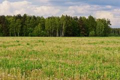 Dandelion Field Summer Royalty Free Stock Photo