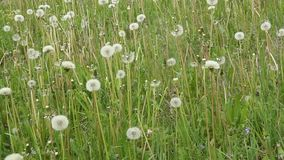 Dandelions on a green meadow after flowering. Dandelion clock swaying in the wind and fall. Green meadow with lots of dandelions. The wind blows and shakes the stock video footage