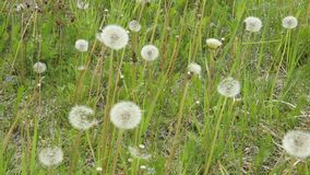 Dandelions on a green meadow after flowering. Dandelion clock swaying in the wind and fall. Green meadow with lots of dandelions. The wind blows and shakes the stock video