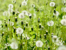 Dandelions on green meadow Royalty Free Stock Images
