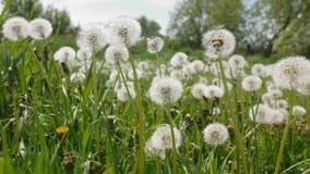 Dandelions on green meadow stock video footage