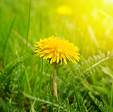 Dandelions on a green meadow Stock Photography