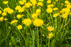 Dandelions in green meadow. Yellow summer flower background. Royalty Free Stock Image