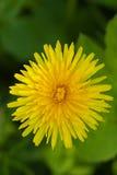 Dandelions on green nature Stock Photo