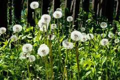 Dandelions grow  fence. Dandelions grow at the fence Royalty Free Stock Photos