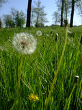 Dandelions grow in green grass among forest Stock Images