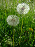 Dandelions grow in green grass. Shining on sun Royalty Free Stock Photography