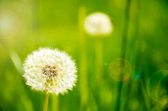 Dandelions growing in the meadow lens flare Royalty Free Stock Images