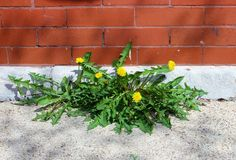 Dandelions Growing Between a Wall and the Sidewalk, Persistence Stock Photography