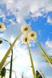 dandelions grupują perspektywę Obrazy Royalty Free