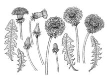Dandelions hand drawn elements royalty free stock image