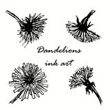 Dandelions hand drawn sketch  illustration Royalty Free Stock Photo
