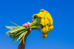 Dandelions I. A bouquet of dandelions, isolated on blue Royalty Free Stock Image