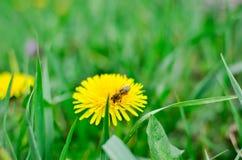 Dandelions i pszczoła Zdjęcia Royalty Free