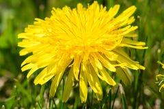 Dandelions i trawa makro- Zdjęcie Stock