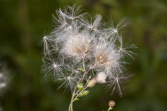 Dandelions I Royalty Free Stock Photos