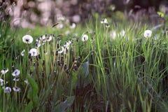 Dandelions i wildflowers Obraz Stock